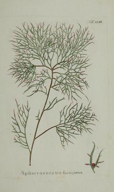 Plates (1829) - Hydrophytologiae Regni Neapolitani icones / - Biodiversity Heritage Library