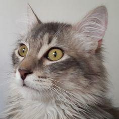 Felipe ♡ #gato #gatos #cat #cats #animal #animals #pet #pets #mascota #mascotas #natural #animales #naturaleza #miau #meow #michi #michis #pelo #grey #greys #green #eyes #eye #ojo #ojos #cute #instagood #nofilter #sinfiltro