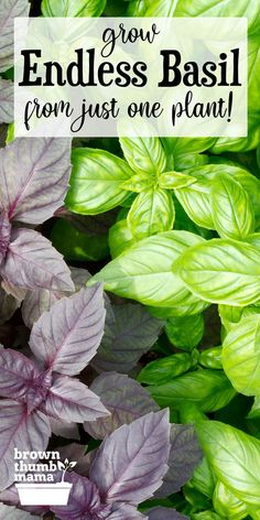 Yes you can grow endless amounts of basil from just one plant! Heres the secret to growing lots of basil from cuttings. You can even use a basil plant from the supermarket to start your Endless Basil Empire. Herb Garden Design, Lawn And Garden, Home And Garden, Growing Plants, Growing Vegetables, Growing Herbs Indoors, Growing Tomatoes, Gardening For Beginners, Gardening Tips