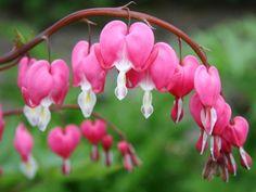 Bleeding Heart Plant, Bleeding Hearts, Best Perennials For Shade, Hardy Perennials, Woodland Garden, Colorful Garden, Plantar, Winter Garden, Shade Garden