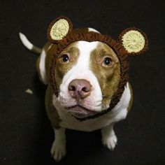 """- Brown """"Bear"""" dog snood with matching ears - 100% acrylic yarn - Available in small, medium, and large sizes - Pictured: medium size on a 30 lbs corgi, 16"""" head You can't go wrong with the adorably s"""