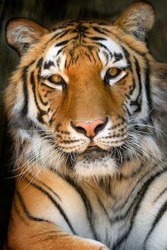 See morew Best tiger http://cuteanimalworld.blogspot.com/