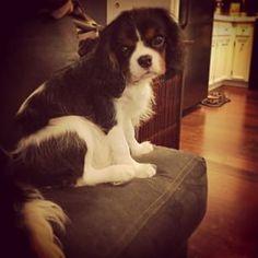 This lil guy is so sweet & cuddly today!  #winston #cavalierkingcharles #spaniel #puppylove #dogsofinstagram