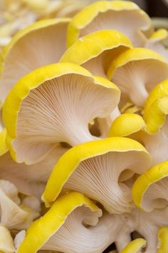 My favorite bright color in nature. Amarillo … My favorite bright color in nature. Amarillo More color Inspiration Wild Mushrooms, Stuffed Mushrooms, Mushrooms Recipes, Yellow Mushroom, Mushroom Benefits, Mushroom Fungi, Mushroom Caps, Patterns In Nature, Mellow Yellow