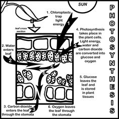 biology biologia This is showing the process of photosynthesis. Biology Lessons, Science Biology, Teaching Biology, Science Lessons, Life Science, Ap Biology, Forensic Science, Computer Science, High School Biology