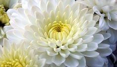 CRISANTEMO (Chrysanthemum morifolium): el origen des esta flor  se encuentra  Asia, Japón y Koreala flor es un compuesto excelente neutralizador de formaldehído, el benceno y el amoníaco. Puede permanecer en cualquier entorno. En el lugar de noche en el exterior. Al igual que las temperaturas más bajas.  Se cultivan en macetas o en el suelo a pleno solo o a media sombra;  admite todo tipo de suelos incluso si son algo salinos pero debe estar bien drenada;