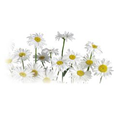 daisies ❤ liked on Polyvore featuring flowers, fillers, plants, backgrounds, nature, phrase, quotes, saying and text