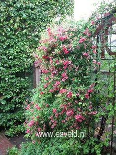 Vaste pronkerwt. Een klimmende vaste plant. De gemiddelde hoogte is 200 cm. De bloemkleur is rozerood. Deze plant is goed winterhard. De bloeiperiode is juli - september.