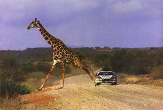 Lancia 037 dealing with a tall order at the 1984 Safari Rally.
