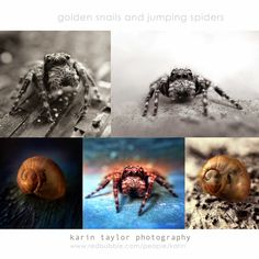 karin taylor photography: Golden Snails and Jumping Spiders Golden Snail, Jumping Spider, Snails, Spiders, Macro Photography, Iphone, Spider, Snail