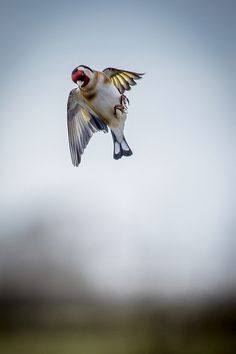 Gorgeous goldfinch shot by Michael Nolan.  Will you see golfinches during your #birdwatch this month?
