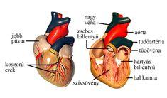 A szív makettjéről készült fotó (felszín, hosszmetszet)