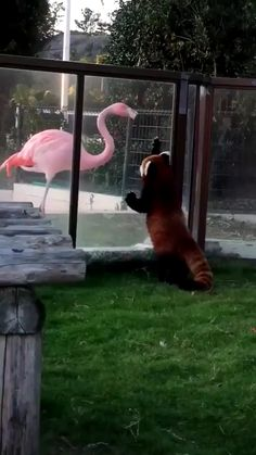 Flamingo and Red Panda saying hi. - Julia Brauchler - Flamingo and Red Panda saying hi. Cute Little Animals, Cute Funny Animals, Like Animals, Animals And Pets, Animal Antics, Animal Memes, Cute Animal Videos, Funny Animal Pictures, Red Panda Cute
