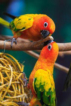 Playful parakeet having fun with its valentine.