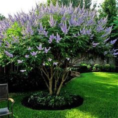 Blue Flowering Chaste Tree Blue-Purple Summer Flowers Handsome Silvery Foliage Healthy, Hardy and Easy If you are searching for an easy-care, stylish ornamental tree, take a good look at this fabulous offering. Chaste Tree (Vitex agnus-castus) i Garden Shrubs, Flowering Shrubs, Trees And Shrubs, Garden Beds, Patio Trees, Perennial Bushes, Outdoor Trees, Tall Shrubs, Side Garden