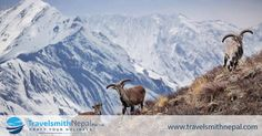 Argali, The Mountain Sheep that Roams the highlands of Himalayas