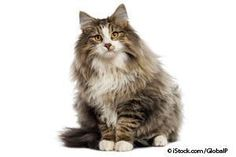 The Vikings' favorite cat - Norwegian Forest Cat