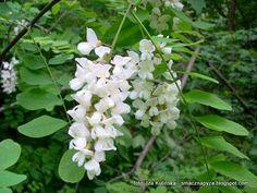 robinia_akacjowa Plants, Magick, Plant, Planets