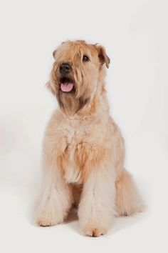 soft-coated Wheaton Terrier Kiss Me, I'm Irish! Meet 8 Lucky Irish Dog Breeds – Page 2 – The Dogington Post Airedale Terrier, Irish Terrier, Terrier Breeds, Terriers, Wheaton Terrier Soft Coated, Irish Dog Breeds, Glen Of Imaal Terrier, Country Critters, Spaniel Breeds