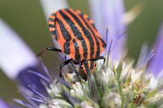 Hemiptère-Graphosoma italicum- ( la punaise arlequin ) de Le FeNNeC