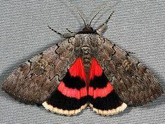 Moth Photographers Group – Living Moths Plate 26F – Noctuidae ...