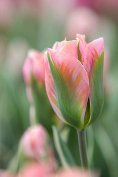 """Skagit Tulips"" by Jeremy Jonkman on flickr"