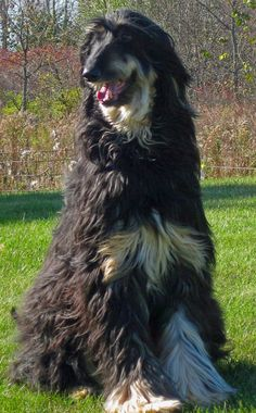 afghan hound | Max the Afghan Hound | Dogs | Daily Puppy