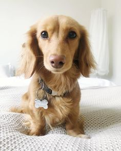 Excellent pretty dogs information are readily available on our website. Read more and you wont be sorry you did. Cream Dachshund, Long Haired Dachshund, Mini Dachshund, Weenie Dogs, Dachshund Puppies, Dogs And Puppies, Daschund, Dapple Dachshund, Chihuahua Dogs