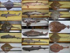 Nueva mirada al mar: Al menos 25 especies de tiburones, rayas y quimeras pueblan…