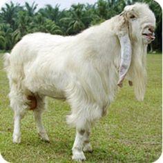 Long-eared goat:  India