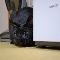 凛太郎また吐いた☹️水の飲みも悪いからチロちゃんに教えてもらったボウル買ってみた🤔早く届かないかな〜💦畳の上とかカーペットの上でウケッウケッてしだすから、すかさずティッシュでキャッチしようとするけど華麗に避けられる(笑)畳だけは勘弁してください😭🙏 . . #スコティッシュ #スコティッシュフォールド #シルバータビー #猫 #黒猫 #cat #scottishfold #scottish #silvertabby #blackcat #pet #ペット #愛猫 #ぶさかわ #ぶさいく#ぶさねこ #ぶさ猫 #デブ猫 #カワウソ