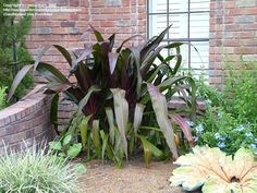 Welcome to the famous Dave's Garden website. Join our friendly community that shares tips and ideas for gardens, along with seeds and plants. San Diego Botanic Garden, Architectural Plants, Lily Bloom, Red Leaves, Colorful Garden, Begonia, Large Flowers, Tropical Plants, Botanical Gardens