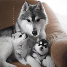 Wonderful All About The Siberian Husky Ideas. Prodigious All About The Siberian Husky Ideas. Cute Husky, Husky Puppy, Cute Dogs And Puppies, I Love Dogs, Puppies Puppies, Super Cute Puppies, Cute Funny Animals, Cute Baby Animals, Cute Family Photos