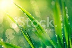 Fresh spring grass with raindrops royalty-free stock photo