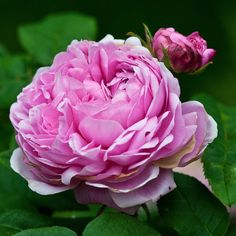 ~Jacques Cartier Rose