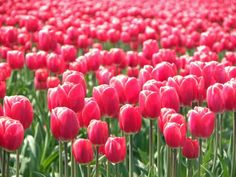 go to a tulip festival in Washington State
