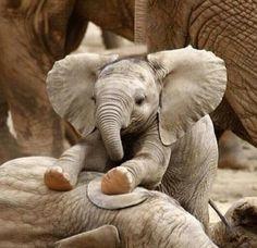a baby elephant. Just a baby elephant.Just a baby elephant. Cute Baby Animals, Animals And Pets, Funny Animals, Wild Animals, Happy Animals, Animals Images, Nature Animals, Elephas Maximus, Photo Animaliere