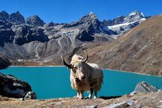 White Yak, Nepal