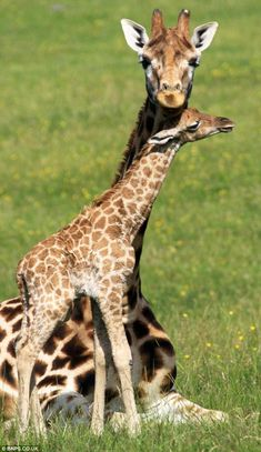 "And although the baby Rothschild's giraffe may look tiny compared to its 19ft mother, it is actually a staggering 6' 6"" tall already."
