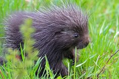 Here's a baby porcupine.