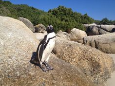I had been looking forward meeting the African Penguins for a long time, and I was not disappointed. Visiting Boulders Beach has been one of the best parts of… African Penguin, Boulder Beach, Cape Town South Africa, Table Mountain, Whale Watching, Africa Travel, Best Part Of Me, Bouldering, Continents