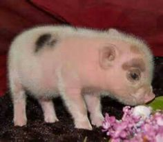 Cute teacup pig..... my favorite animal In the whole world besides dogs!!!!! :)
