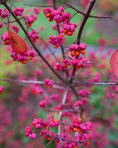 Pops of pink and orange light up the spindle tree Euonymus europaeus. These winged fruits will remain long after the crimson foliage falls in autumn.