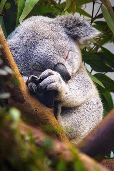Baby Koala bear sleeping in the Eucalyptus tree. Baby Animals Pictures, Cute Animal Pictures, Cute Little Animals, Cute Funny Animals, Nature Animals, Animals And Pets, Wildlife Nature, Australian Animals, Cute Creatures