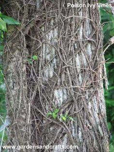 How to get rid of poison ivy safely