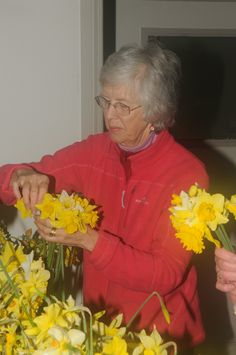 Hundreds of volunteers work to ensure daffodils are ready for the big day