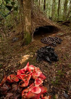 Often mistaken for fairie houses - the amazing bowerbird nest...Feathering your Nest | MightyNest