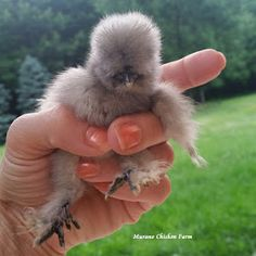 Raising chickens for profit. How to breed silkies and make money off them! Chicken Garden, Chicken Life, Chicken Humor, Bantam Chickens, Chickens And Roosters, Silkie Chickens For Sale, Bantam Chicken Breeds, Meat Chickens, Fancy Chickens
