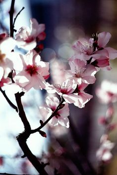 Pretty pink cherrie blossoms are one of my favorite flowers. All Flowers, Flowers Nature, Pretty In Pink, Beautiful Flowers, White Flowers, Flower Bomb, My Flower, Flower Branch, Flor Magnolia