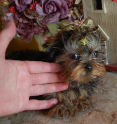 courtashyorkies t-cup yorkie 4 months old. 949 306-1484
